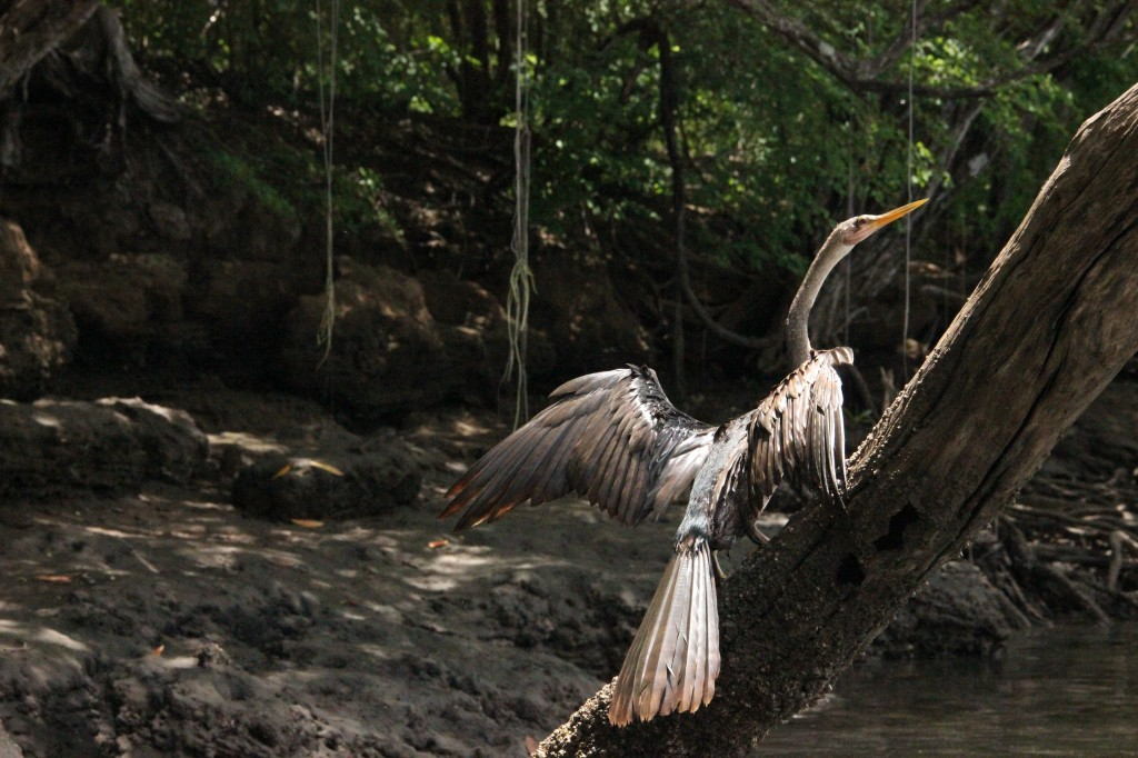 Heron, Costa Rica by Suzanna Lourie