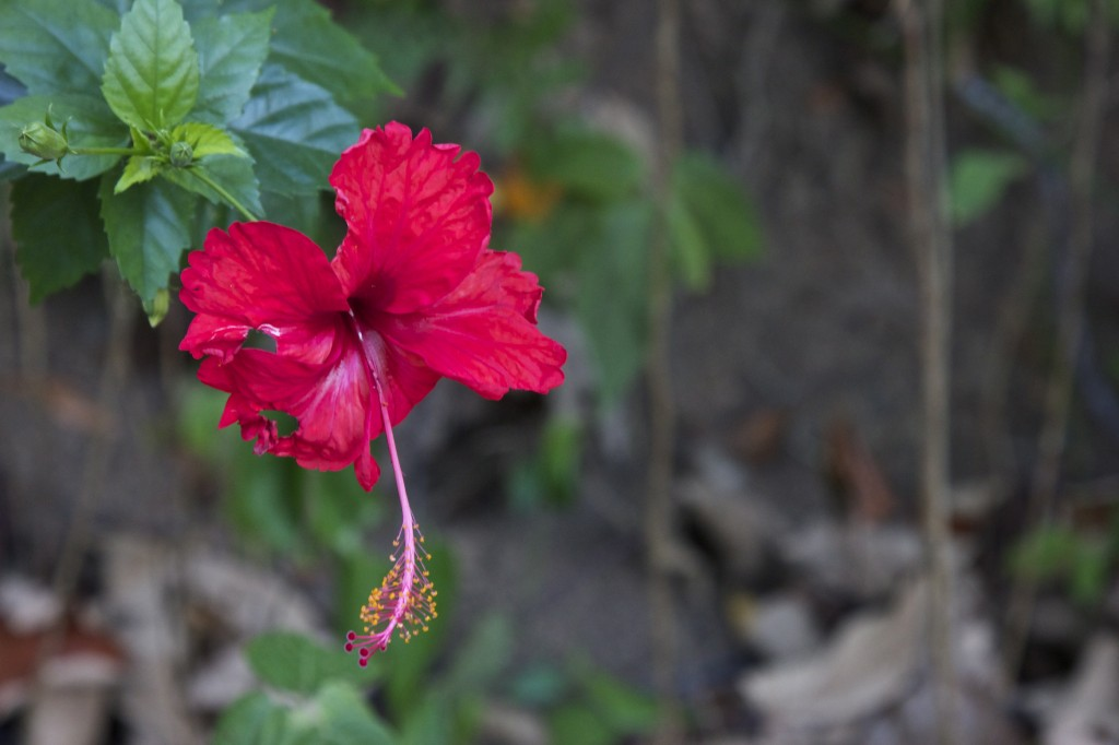 Red Hibiscus, Matapalo, Osa Peninsula by Suzanna Lourie