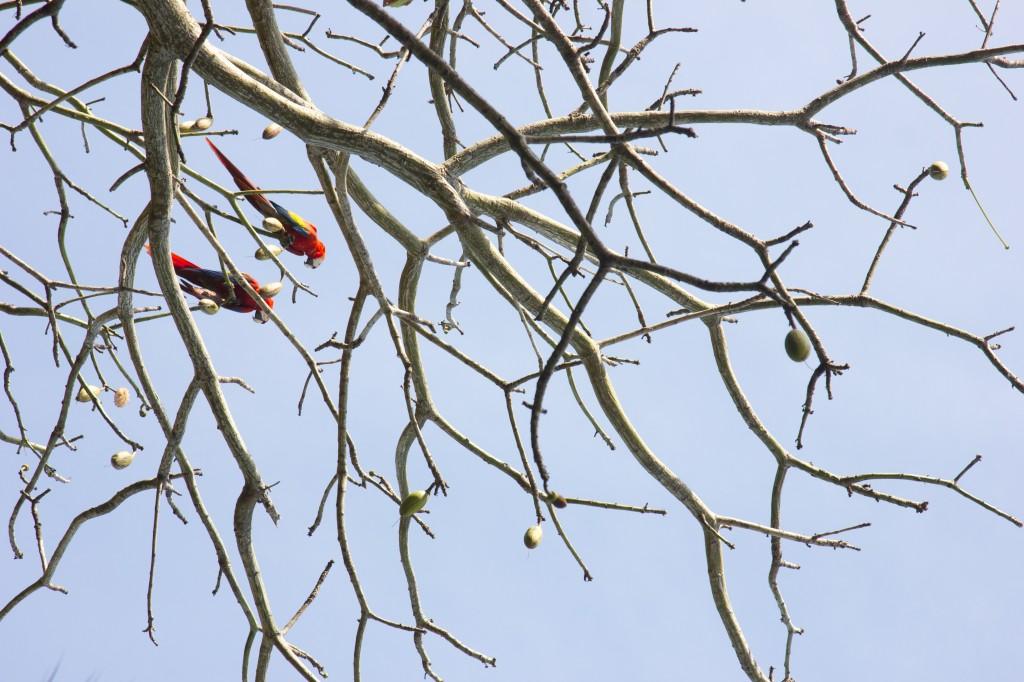Scarlet Macaws, Matapalo, Osa Peninsula