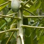 Green Iguana, Matapalo, Osa Peninsula