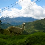 Llama Lookout Ecuador by Suzanna Lourie